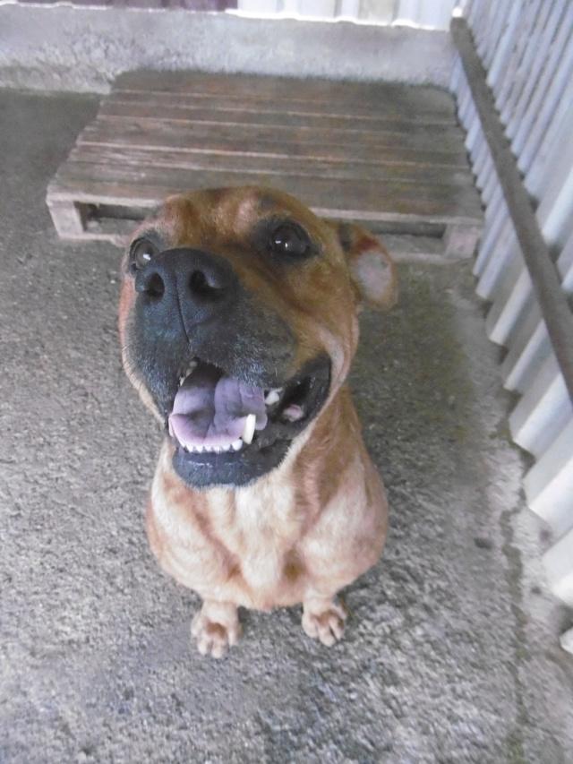BRITNEY - femelle croisée Dogue de Bordeaux - grande taille -  née en 2011 - REMEMBER ME LAND Britne24