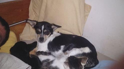 BYMBA - Femelle croisée chihuahua, de petite taille (mini 4kg) - née environ en septembre 2017 - ADOPTEE PAR PARY et LEWIS (75) Bymba810
