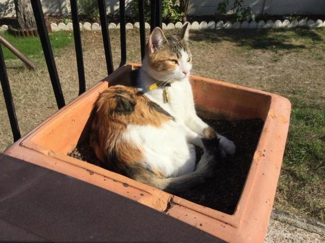 CALICE (ex KAÏNA) - chat femelle, née en fin juillet 2017 - En FA chez Abysse (depart92) - ADOPTEE PAR LAURE (95) - Page 2 Calice19