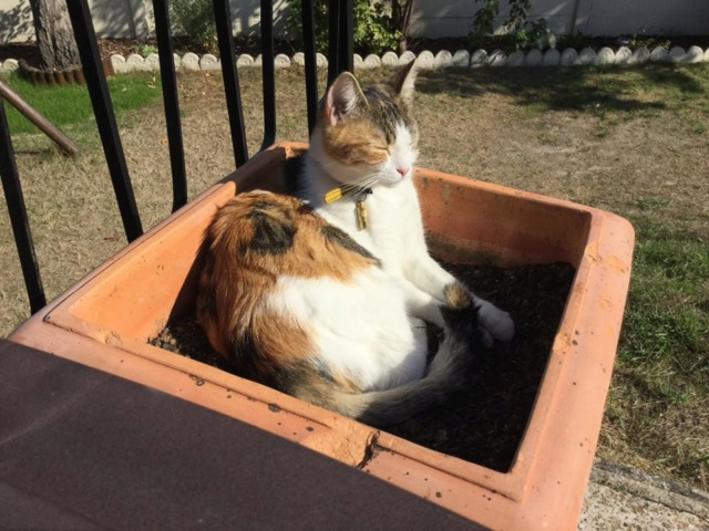 CALICE (ex KAÏNA) - chat femelle, née en fin juillet 2017 - En FA chez Abysse (depart92) - ADOPTEE PAR LAURE (95) - Page 2 Calice20