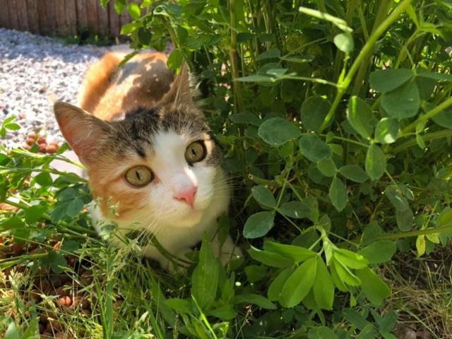 CALICE (ex KAÏNA) - chat femelle, née en fin juillet 2017 - En FA chez Abysse (depart92) - ADOPTEE PAR LAURE (95) - Page 3 Calice37