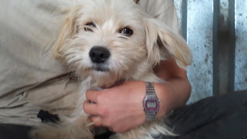 CHANEL, femelle, croisée bichon, de petite taille - Née environ mi septembre 2017 - REMEMBER ME LAND - Adoptée par Ghislaine (88)  Chanel27