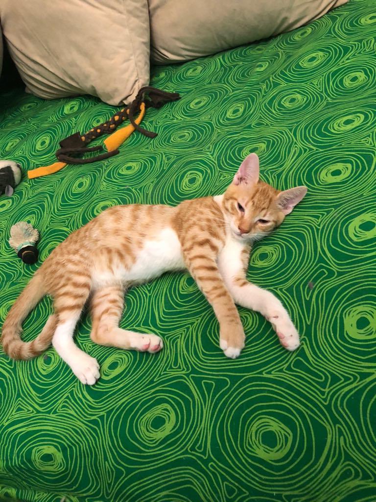 CHARLIE - joli petit chat mâle beige, né en mai 2018 (BUCAREST) - CHEZ CARMINA - ADOPTE EN ROUMANIE Charli10