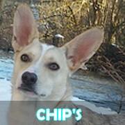 Association Remember Me France : sauver et adopter un chien roumain Chips10
