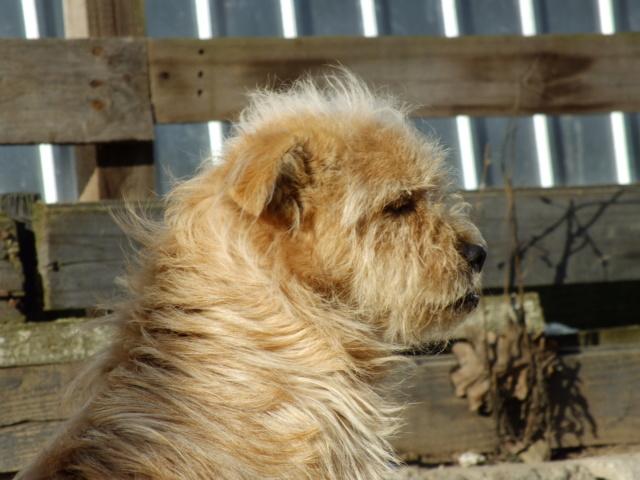 CHOPIN - Mâle, croisé cairn terrier, de petite taille - né environ en 2009 - REMEMBER ME LAND Chopin32