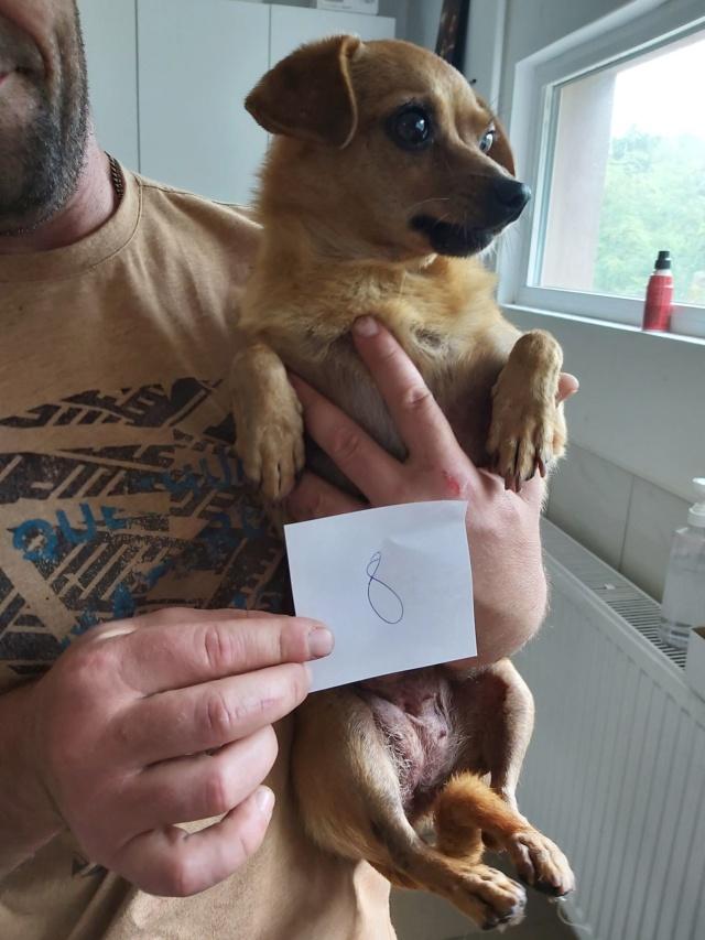 CLARINETTE - Femelle croisée pinscher, de petite taille (mini 5kg) - née environ en septembre 2012 - Adoptée par Brigitte (55)  Clarin11