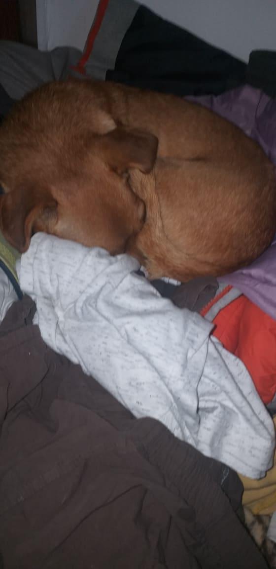 CLARINETTE - Femelle croisée pinscher, de petite taille (mini 5kg) - née environ en septembre 2012 - Adoptée par Brigitte (55)  Clarin16