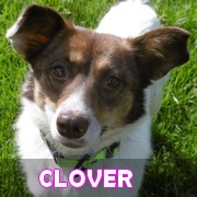 Association Remember Me France : sauver et adopter un chien roumain Clover49