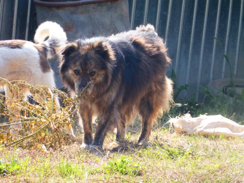 cougar - COUGAR - mâle croisé de taille moyenne, né en 2010  (PASCANI) - REMEMBER ME LAND Cougar12