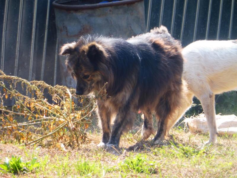 COUGAR - mâle croisé de taille moyenne, né en 2010  (PASCANI) - REMEMBER ME LAND Cougar14