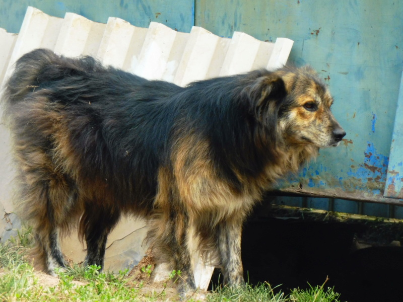 COUGAR - mâle croisé de taille moyenne, né en 2010  (PASCANI) - REMEMBER ME LAND Cougar15