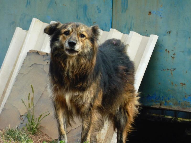 COUGAR - mâle croisé de taille moyenne, né en 2010  (PASCANI) - REMEMBER ME LAND Cougar16