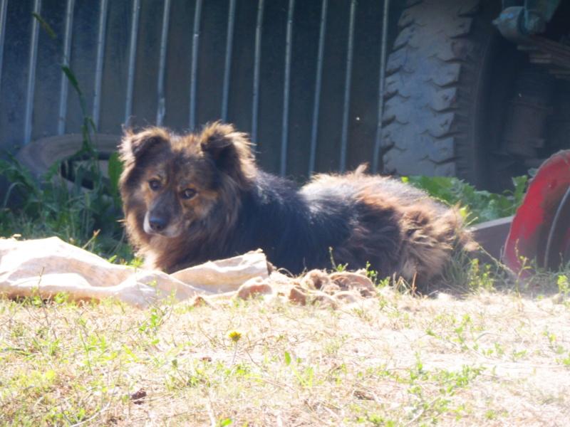 COUGAR - mâle croisé de taille moyenne, né en 2010  (PASCANI) - REMEMBER ME LAND Cougar17