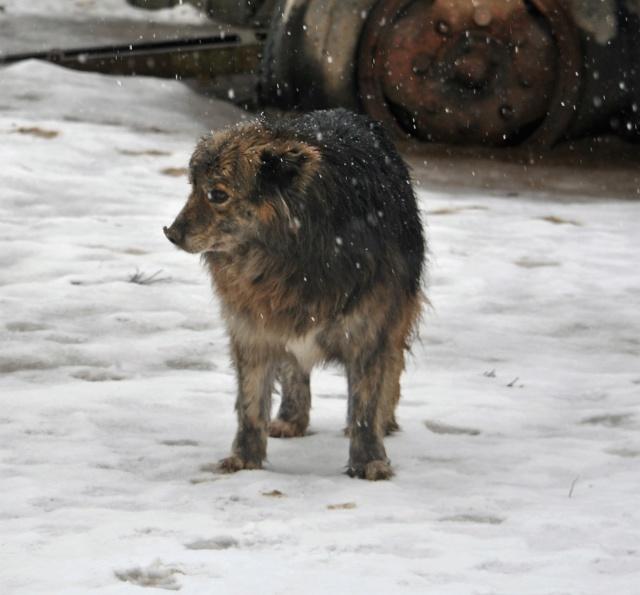 COUGAR - mâle croisé de taille moyenne, né en 2010  (PASCANI) - REMEMBER ME LAND Cougar19