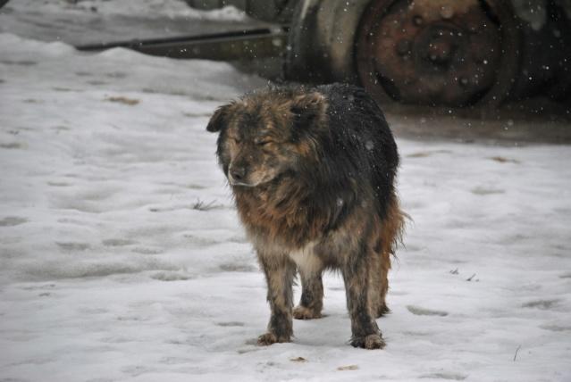 cougar - COUGAR - mâle croisé de taille moyenne, né en 2010  (PASCANI) - REMEMBER ME LAND Cougar21