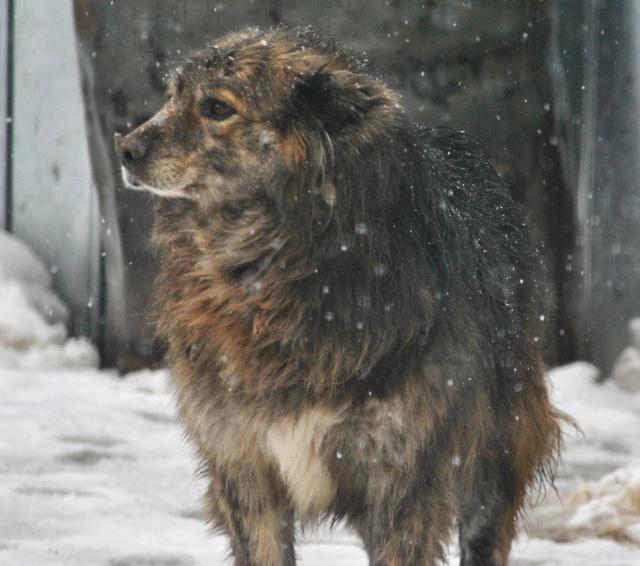 COUGAR - mâle croisé de taille moyenne, né en 2010  (PASCANI) - REMEMBER ME LAND Cougar22