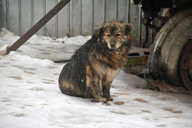 COUGAR - mâle croisé de taille moyenne, né en 2010  (PASCANI) - REMEMBER ME LAND Cougar23