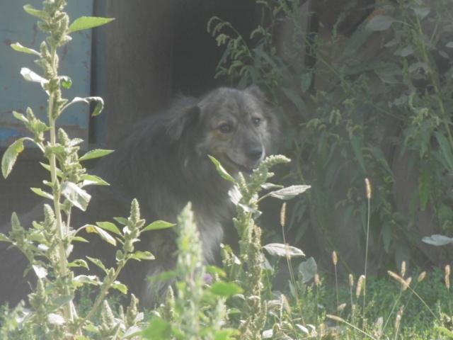 COUGAR - mâle croisé de taille moyenne, né en 2010  (PASCANI) - REMEMBER ME LAND - Page 2 Cougar29