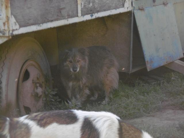 COUGAR - mâle croisé de taille moyenne, né en 2010  (PASCANI) - REMEMBER ME LAND - Page 2 Cougar30