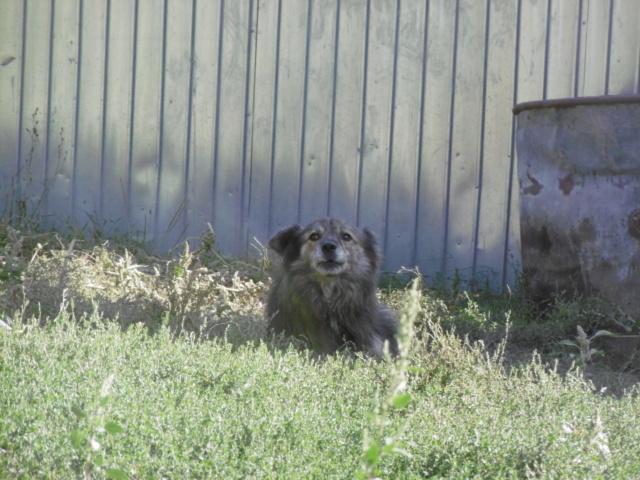 COUGAR - mâle croisé de taille moyenne, né en 2010  (PASCANI) - REMEMBER ME LAND - Page 2 Cougar31