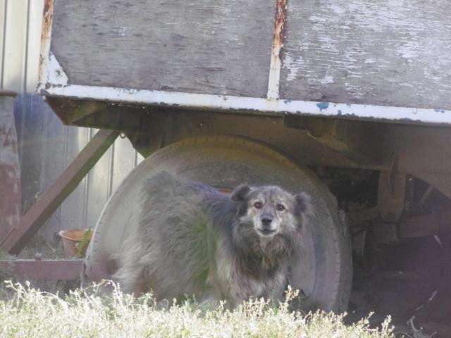 COUGAR - mâle croisé de taille moyenne, né en 2010  (PASCANI) - REMEMBER ME LAND - Page 2 Cougar32