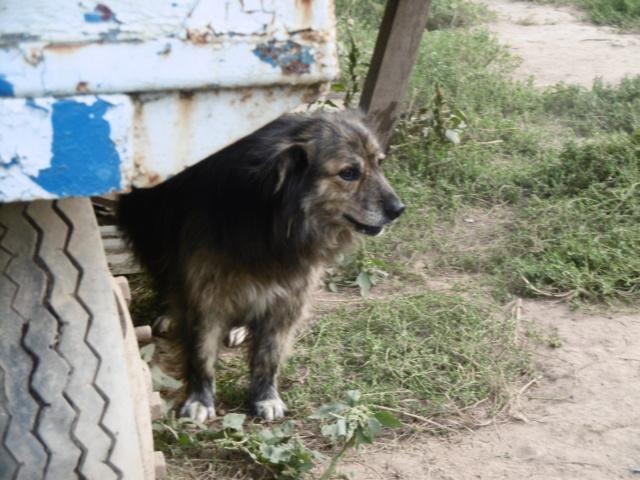 COUGAR - mâle croisé de taille moyenne, né en 2010  (PASCANI) - REMEMBER ME LAND - Page 2 Cougar33
