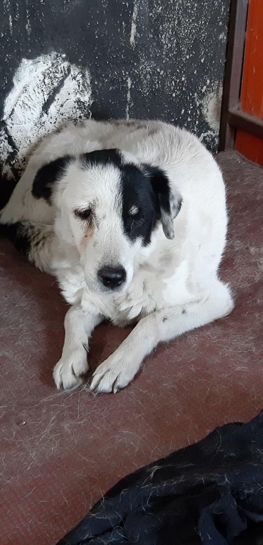 DALMATA- Femelle croisée de taille moyenne - née en 2007 - retournée chez ses maîtres en Roumanie Dalmat13
