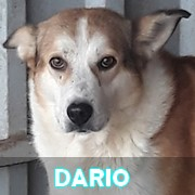 Association Remember Me France : sauver et adopter un chien roumain Dario11