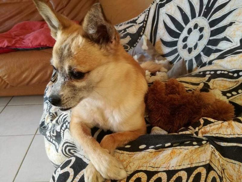 DELLA, femelle croisée chihuahua, née environ 2007, petite taille (refuge Anda et Alina) - adoptée par Danièle (dpt 82) - Page 10 Della10