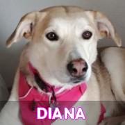 Association Remember Me France : sauver et adopter un chien roumain Diana11