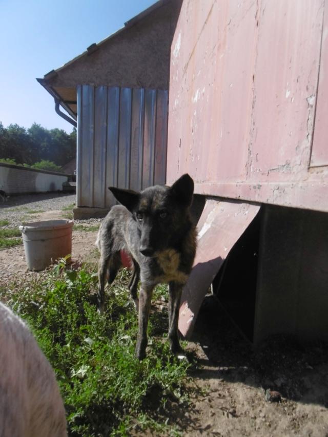 FURY (ex ELFIE) - Femelle croisée de taille moyenne, née en 2010 - PASCANI - REMEMBER ME LAND - adoptée par Amandine Elfie_13