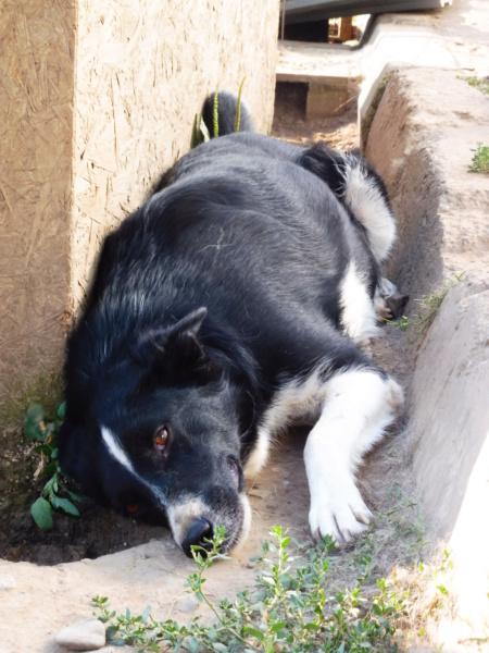 ERIKA - femelle croisée de taille moyenne, née en 2012 (PASCANI) - REMEMBER ME LAND - décédée  Erika_25