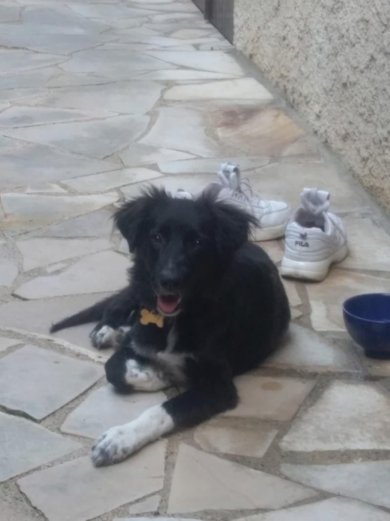 BELLA (ex ESTELLE) - femelle croisée Border Collie de taille moyenne adulte, née février 2018  (PASCANI) - REMEMBER ME LAND - Adoptée par Sandrine (95) Estell11