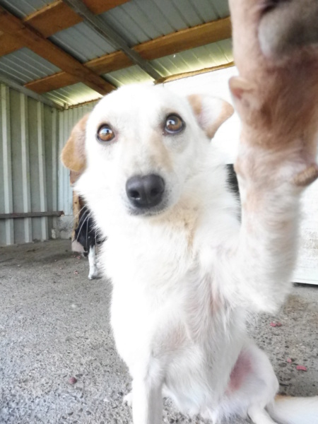 FEELING - femelle croisée labrador taille petite à moyenne née environ avril 2015 - REMEMBER ME LAND - Adoptée par Magali (68) - Page 2 Feelin24