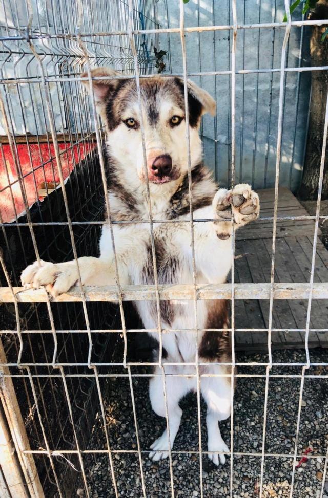 FINN - mâle, typé husky, de taille moyenne - né environ en mai 2019 - REMEMBER ME - Réservé adoption par Sixtine (42) Finn12