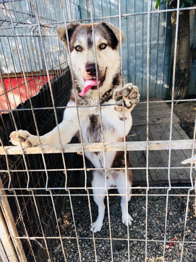 FINN - mâle, typé husky, de taille moyenne - né environ en mai 2019 - REMEMBER ME - Réservé adoption par Sixtine (42) Finn311