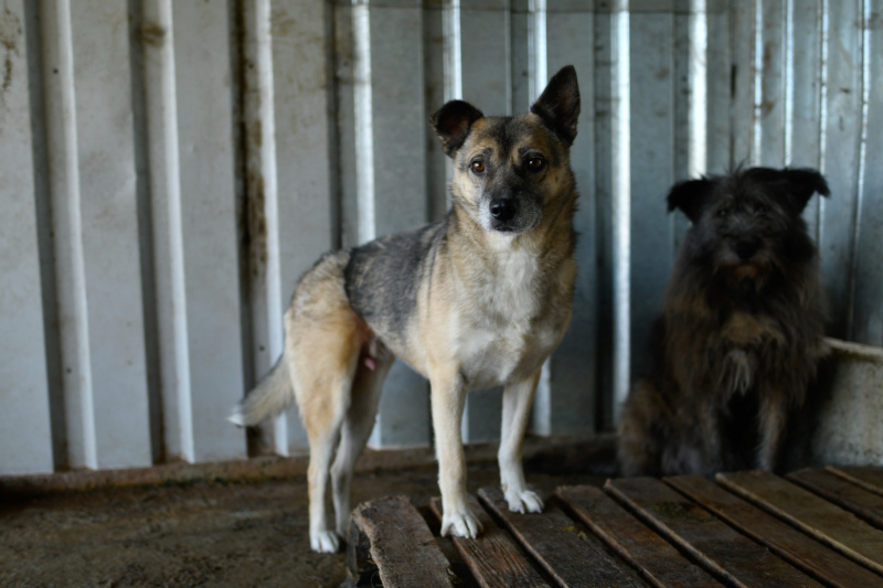 FROZEN - mâle croisé berger allemand de taille moyenne, maltraité, né en 2010 (PASCANI) - REMEMBER ME LAND - DECEDE Frozen31