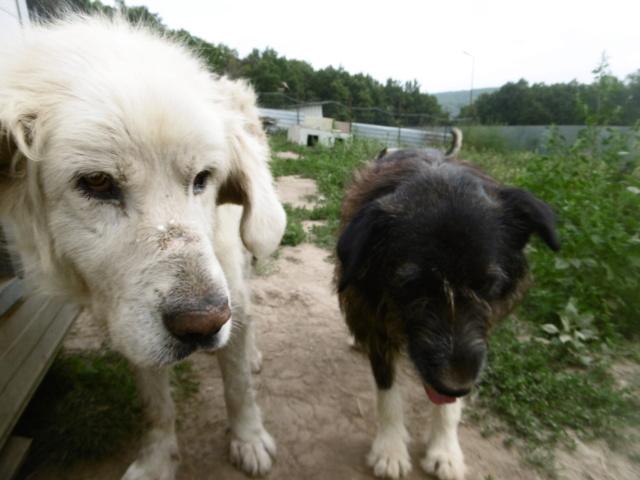 GOLIATH !! + de 3 ans de box !! mâle grande taille, né environ en octobre 2009, croisé montagne des Pyrénées (Cristesti) - REMEMBER ME LAND - En FALD chez Caroline (05) - DECEDE  - Page 6 Goliat30