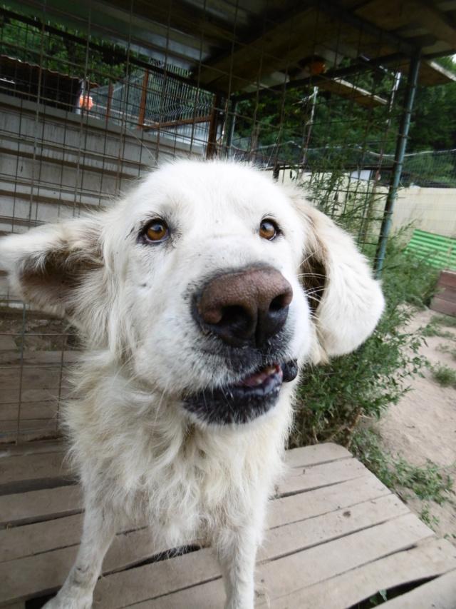 GOLIATH !! + de 3 ans de box !! mâle grande taille, né environ en octobre 2009, croisé montagne des Pyrénées (Cristesti) - REMEMBER ME LAND - En FALD chez Caroline (05) - DECEDE  - Page 6 Goliat31