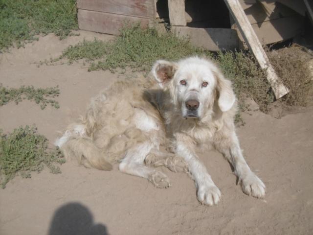 GOLIATH !! + de 3 ans de box !! mâle grande taille, né environ en octobre 2009, croisé montagne des Pyrénées (Cristesti) - REMEMBER ME LAND - En FALD chez Caroline (05) - DECEDE  - Page 6 Goliat36