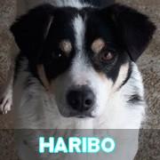 Association Remember Me France : sauver et adopter un chien roumain Haribo28