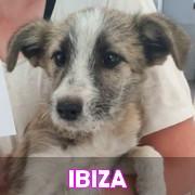 Les chiots en roumanie en un clin d'oeil  Ibiza11