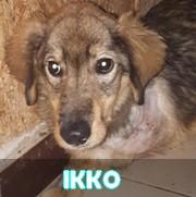 Association Remember Me France : sauver et adopter un chien roumain Ikko13