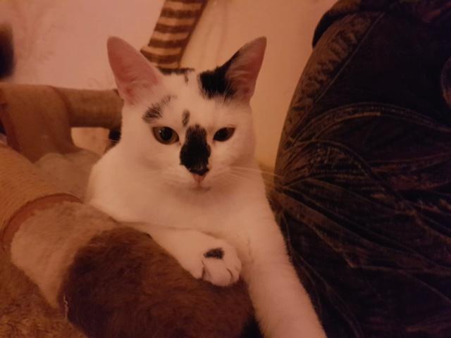 INAYA - chaton femelle, née environ mi novembre 2017 - en FA chez Abysse (92) - ADOPTEE PAR LESLIE et JULIEN (94)  Inaya210