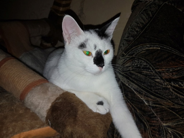 INAYA - chaton femelle, née environ mi novembre 2017 - en FA chez Abysse (92) - ADOPTEE PAR LESLIE et JULIEN (94)  Inaya310
