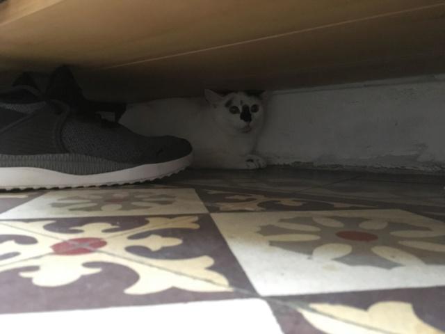 INAYA - chaton femelle, née environ mi novembre 2017 - en FA chez Abysse (92) - ADOPTEE PAR LESLIE et JULIEN (94)  Inaya312