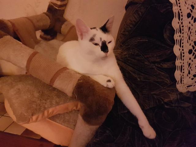 INAYA - chaton femelle, née environ mi novembre 2017 - en FA chez Abysse (92) - ADOPTEE PAR LESLIE et JULIEN (94)  Inaya410