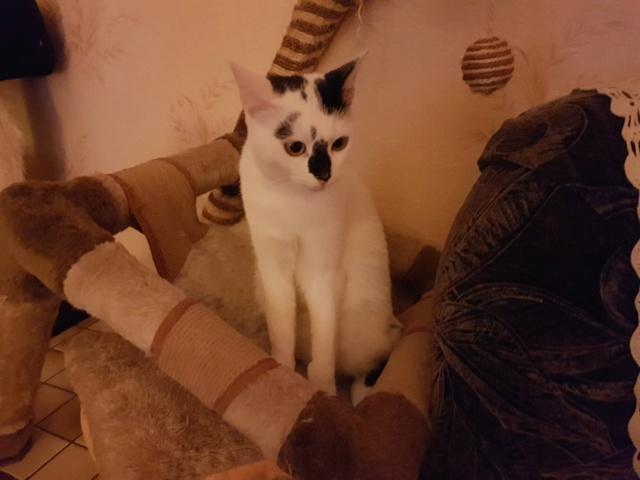 INAYA - chaton femelle, née environ mi novembre 2017 - en FA chez Abysse (92) - ADOPTEE PAR LESLIE et JULIEN (94)  Inaya510