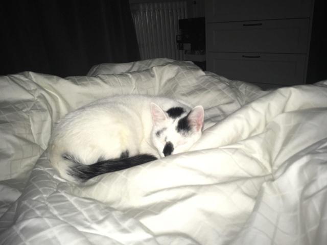 INAYA - chaton femelle, née environ mi novembre 2017 - en FA chez Abysse (92) - ADOPTEE PAR LESLIE et JULIEN (94)  Inaya511