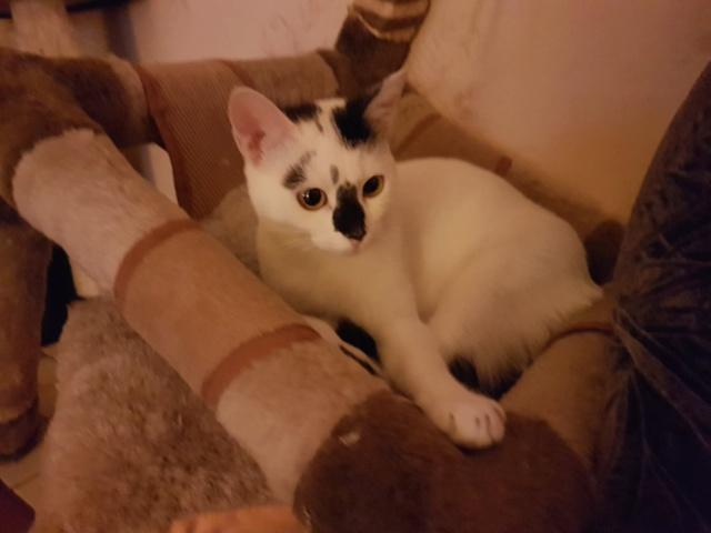 INAYA - chaton femelle, née environ mi novembre 2017 - en FA chez Abysse (92) - ADOPTEE PAR LESLIE et JULIEN (94)  Inaya610